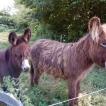 Baudet du Poitou Donkeys